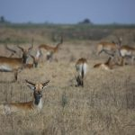 DubaPlains_Lechwe