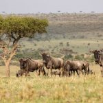Safari - Mara Nyika Camp - Great Plains Conservation