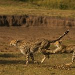 Safari - Mara Expedition Camp - Great Plains Conservation
