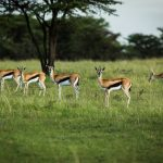 Safari - Mara Plains Camp - Great Plains Conservation