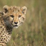 Safari - Grumeti - Singita