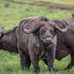 Buffels - Ngorongoro Crater Lodge - AndBeyond