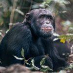 Chimpansee - Rubondo Island Camp - Asilia Camps & Lodges