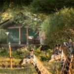 Giraffen voor tent - Tuskers Bush Camp