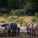 Olifanten voor camp - Tuskers Bush Camp