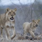 Safari - Ebony Lodge - Singita