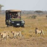 Safari cheetahs - Namiri Plains - Asilia Camps & Lodges