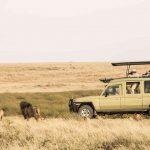 Safari leeuwen - Namiri Plains - Asilia Camps & Lodges
