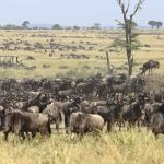 Wildebeest Migratie - Kimondo Migration Camp - Asilia Camps & Lodges