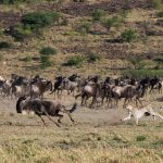 Wildebeest Migratie - Mahali Mzuri - Virgin Limited Edition