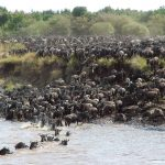 Wildebeest Migratie Oversteek - Serengeti Under Canvas - AndBeyond