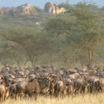 Wildebeest Migratie - Serengeti Under Canvas - AndBeyond