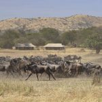 Wildebeest Migratie - Ubuntu Migration Camp - Asilia Camps & Lodges