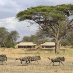 Wildebeest Migratie voor tent - Ubuntu Migration Camp - Asilia Camps & Lodges