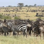 Wildebeest safari - Kimondo Migration Camp - Asilia Camps & Lodges