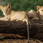 Willdlife - Samburu Intrepids