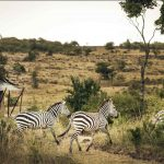 Zebra's - Offbeat Mara Camp
